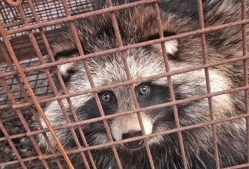 Raccoon dog in a cage at a fur farm