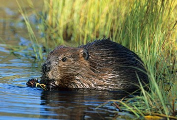 Wild beaver in the water
