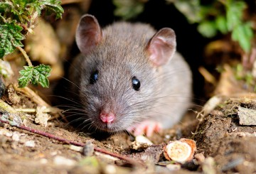 Brown rat in the wild