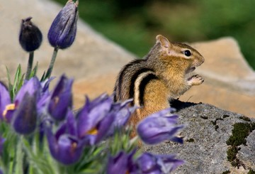 Chipmunk eating in a garden
