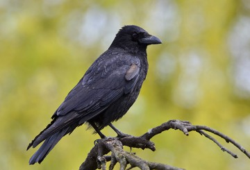 What to do about crows | The Humane Society of the United States