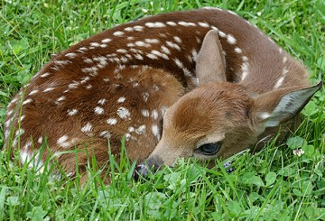 Baby fawn deer lying in the grass