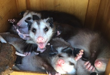 Opossums at FFA Wildlife Center