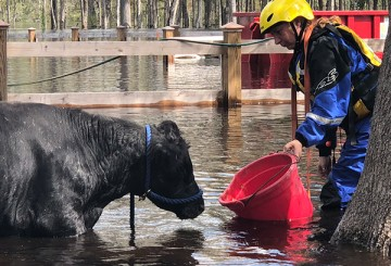 Cow in flood waters, being lured by food to rescue