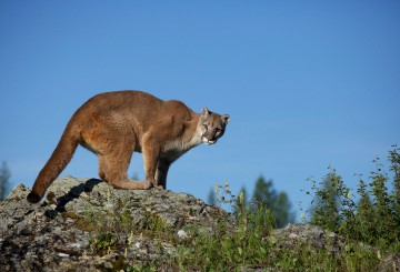 Mountain lion on a rock in Montana