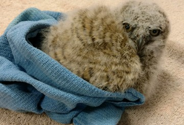 Baby owl at the Fund for Animals Wildlife Center