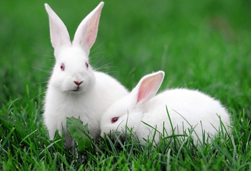 White rabbits in the grass