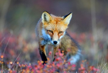 Red fox walking in a field of flowers