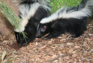 Skunks digging