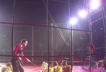 Tigers being whipped during a circus performance