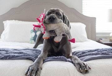 Wanda, a rescued great dane, playing with a toy on her adopters bed.