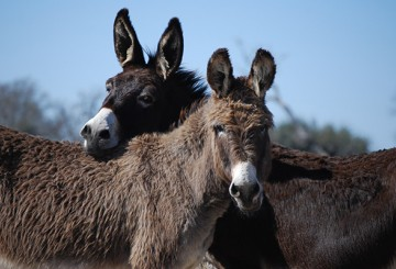 Burros nuzzling each other