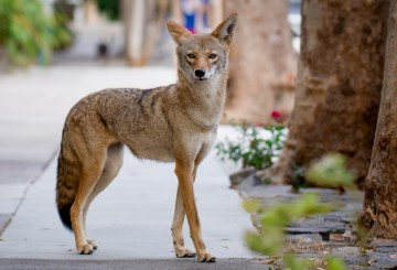 Coyote on an urban sidewalk