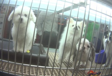 Video still from 2018 Petland investigation