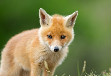 Cute young red fox