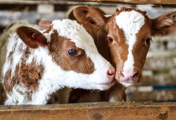 Two sweet brown and white cows in a barn