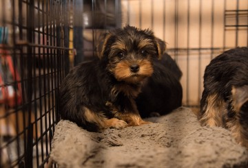 Sad puppies sitting in a filthy cage at a North Carolina puppy mill.