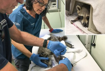Photo collage of raccoon being examined and in a carrier