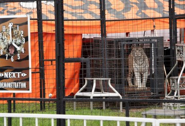 White tiger in a cage at a traveling circus