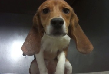 Caged beagle who is part of the Dow one-year pesticide toxicity test