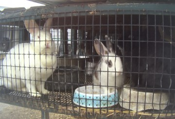 Rabbits in overcrowded outdoor hutch