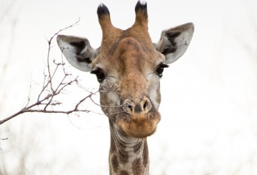 Portrait of a wild giraffe