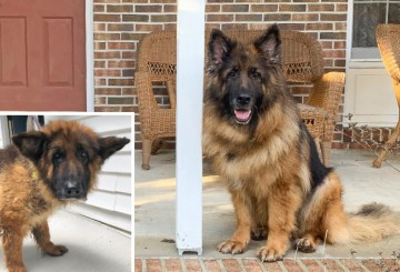 Before and after photos of Cinder, a German shepherd rescued from a puppy mill