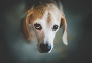 Portrait of a sad beagle looking up
