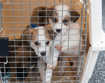 Puppies from the Lee County Humane Society wait to be loaded on to a cargo plane at the Auburn University Airport for transportation in Auburn, Alabama