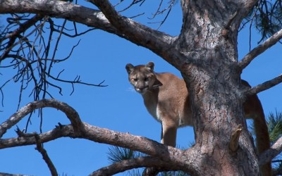 Mountain lions are popular targets for trophy hunting