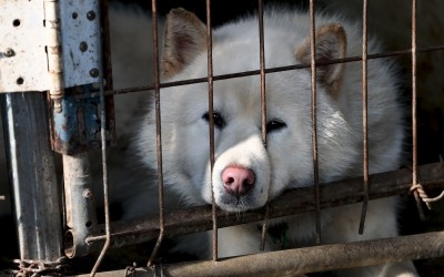 White dog in a cage on dog meat farm