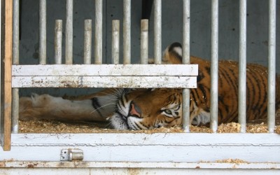 Captive animals such as this tiger locked in cage suffer in zoos and circuses