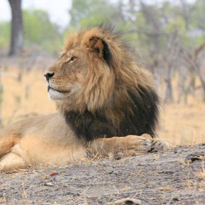 Cecil the lion, victim of trophy hunting