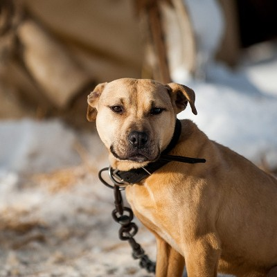 A pit bull is seen chained on the homeowner's property during a rescue in Kalamazoo, Michigan