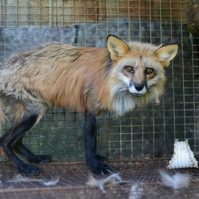 Going fur free can end suffering of animals like this red fox on a fox and mink farm.