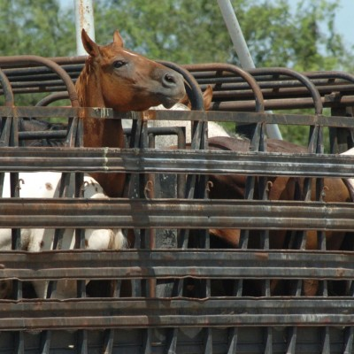 American horses in pens ready to be transported for slaughter in Mexico