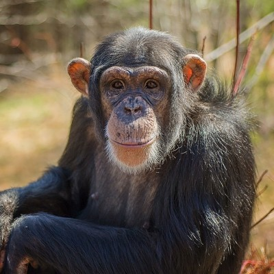 Chimpanzee in retirement at Project Chimps in Blue Ridge, GA