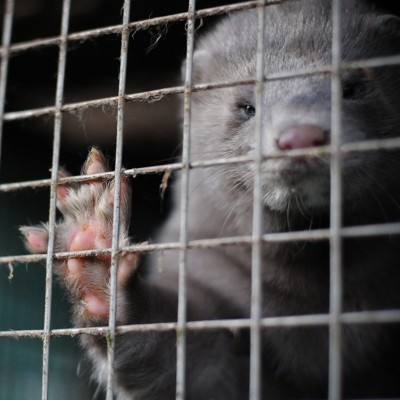 A male mink at a fur farm