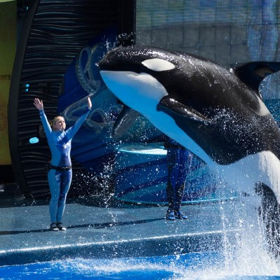 Orcas in marine mammal shows, such as Sea World, are better off in the wild
