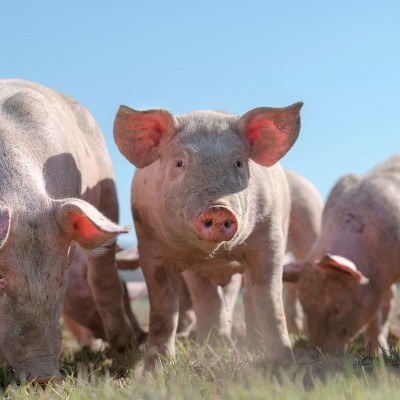 pigs in field - the ideal for farm animal protection