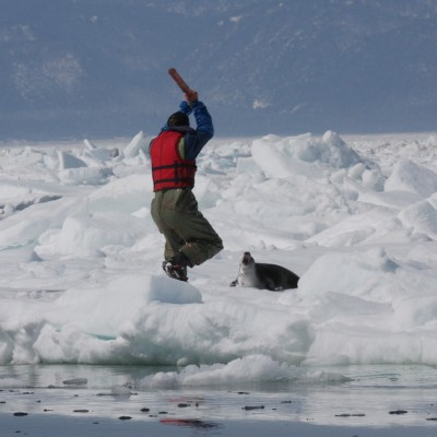 Harp seal about to be slaughtered during the annual Canadian seal hunt