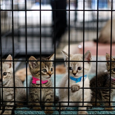 kittens in cage at emergency shelter in Joplin, Missouri after tornado