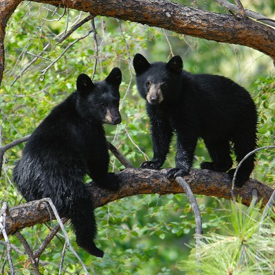 Young black bears in tree