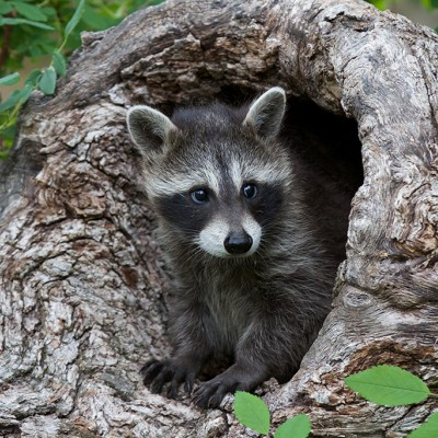 Raccoons Te Humane Society Of The United States