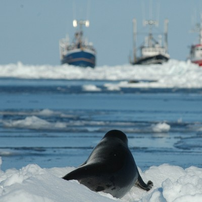 Young harp seal facing sealing vessels as Canada's seal hunt approaches.