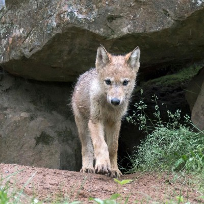 Wolf pup peering out of den