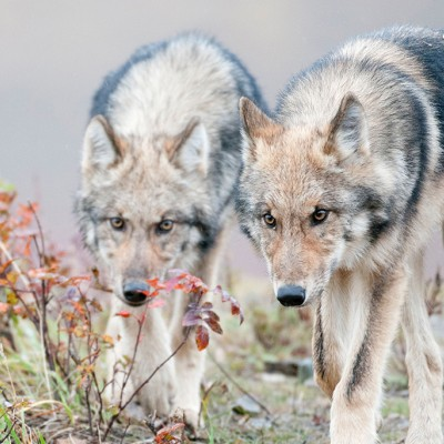 Two half-grown Gray Wolves from the Grant Creek Pack walking near Polychrome Pass, Denali National Park, Interior Alaska.