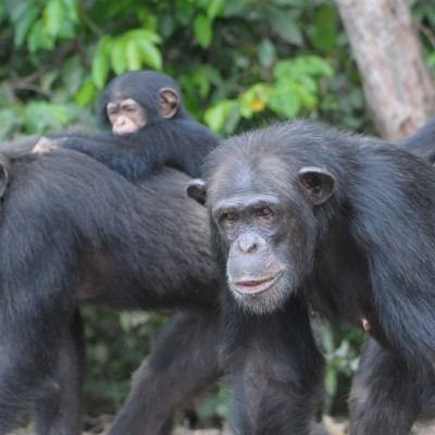 Adult chimps carrying babies on their backs