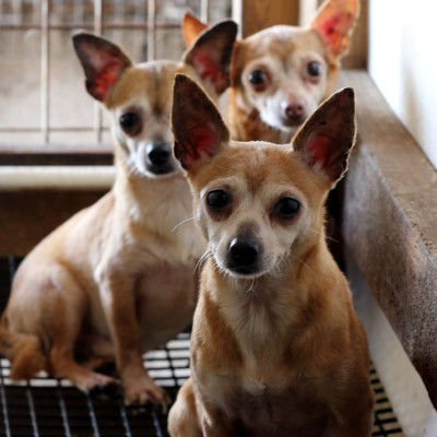 Three dogs huddled in a filthy cage at a puppy mill