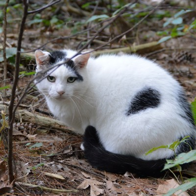 Feral cat crouching in the woods